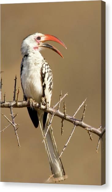Hornbill Canvas Print - Kenya Red-billed Hornbill Bird Perched by Jaynes Gallery