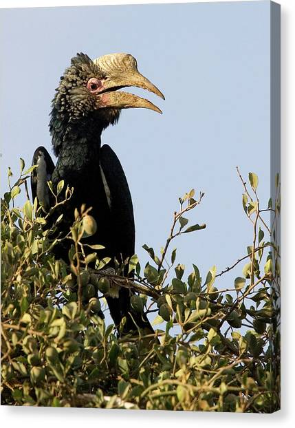 Hornbill Canvas Print - Kenya Silvery-cheeked Hornbill Bird by Jaynes Gallery