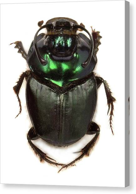 Kenyan Canvas Print - Kenyan Dung Beetle by Natural History Museum, London
