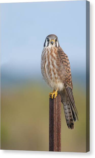 Kestrel On Metal Post Canvas Print