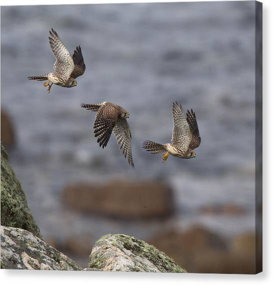 Kestrel Photomontage Canvas Print