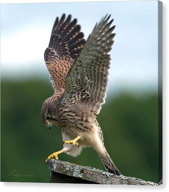 Kestrel's Performance Canvas Print