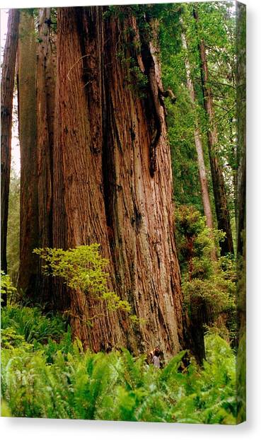 Kevin And The Big Tree - Redwood National Forest Canvas Print