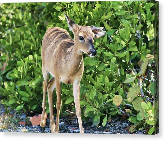 Key Deer Cuteness Canvas Print