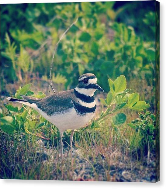 Killdeer Canvas Print - #killdeer #bird #tommythompsonpark by Bruce Wang