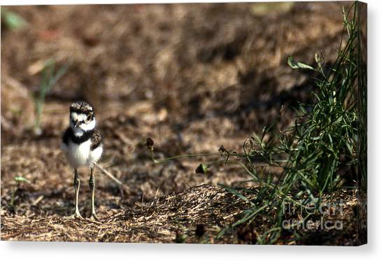 Killdeer Canvas Print - Killdeer Chick by Skip Willits