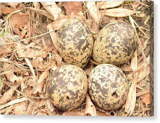 Killdeer Eggs Canvas Print