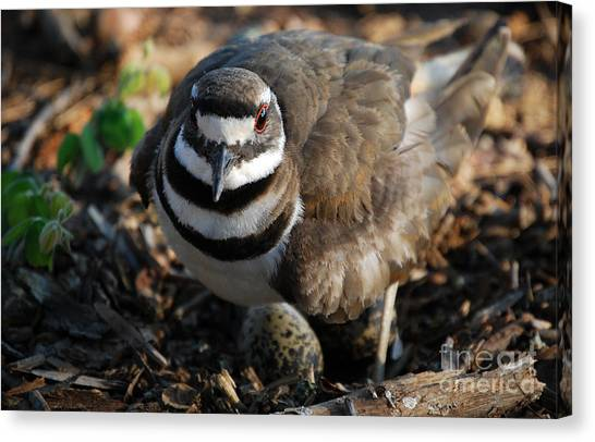 Killdeer Canvas Print - Killdeer Mom by Skip Willits
