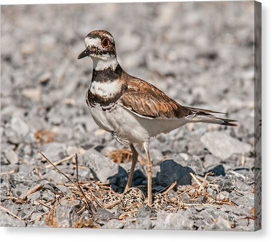 Killdeer Canvas Print - Killdeer Nesting by Lara Ellis