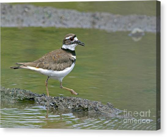 Killdeer Canvas Print - Killdeer Walking by Sharon Talson