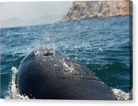 Orcas Canvas Print - Killer Whale Blowhole by Christopher Swann