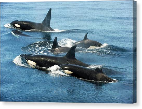 Orcas Canvas Print - Killer Whale Group by Christopher Swann
