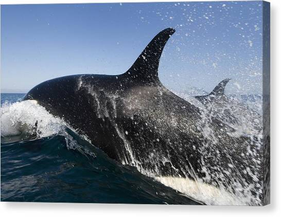 Orcas Canvas Print - Killer Whales Hunting by Christopher Swann