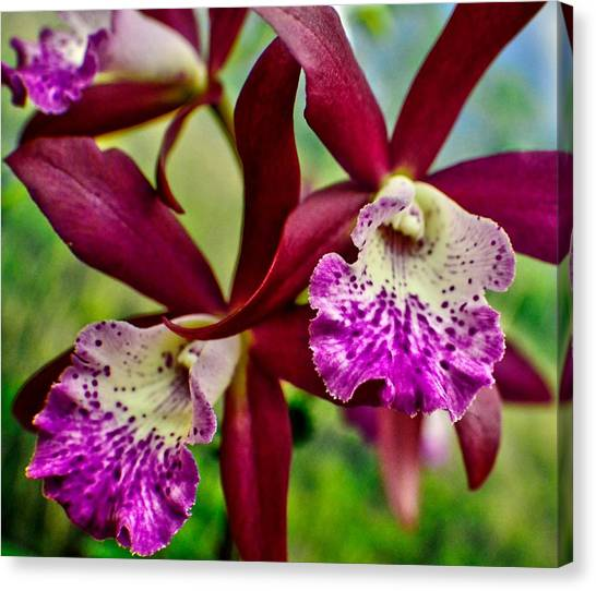 Kimball Orchids Canvas Print