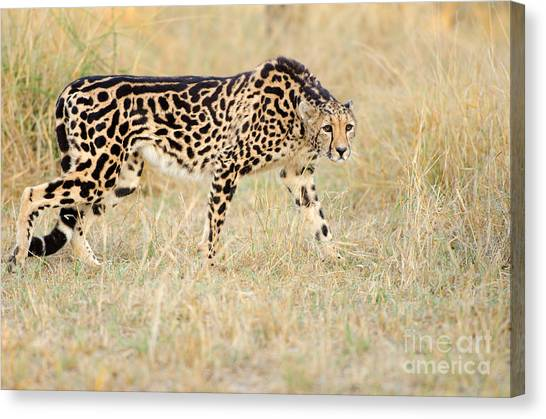 King Cheetah - South Africa Canvas Print by Birdimages Photography
