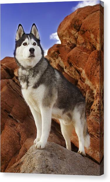 King Of The Huskies Canvas Print