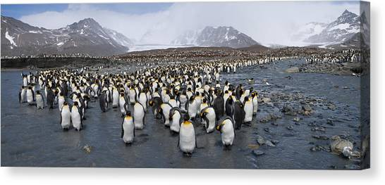 Sandwich Canvas Print - King Penguins Aptenodytes Patagonicus by Panoramic Images