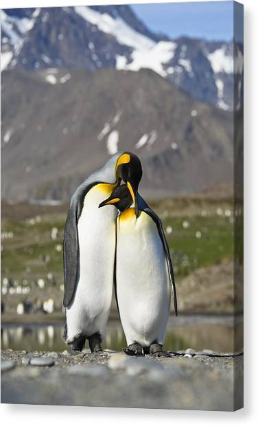 Canvas Print featuring the photograph King Penguins Courting St Andrews Bay by Konrad Wothe
