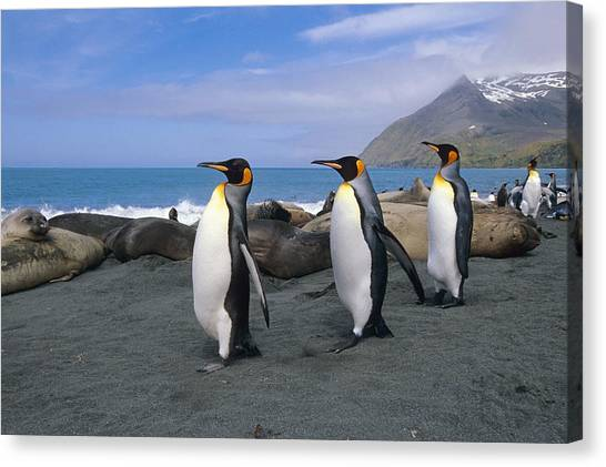 Coexist Canvas Print - King Penguins Walk Among Elephant Seals by Tom Soucek