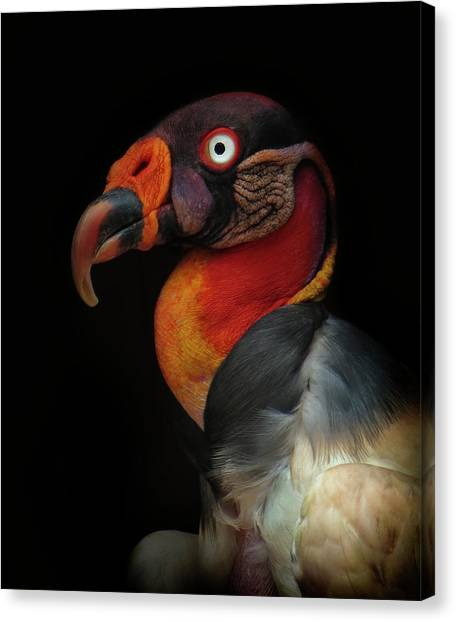 Vultures Canvas Print - King Vulture-sarcoramphus Papa by Ferdinando Valverde