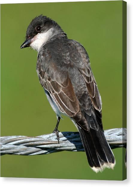 Kingbird On A Wire Canvas Print