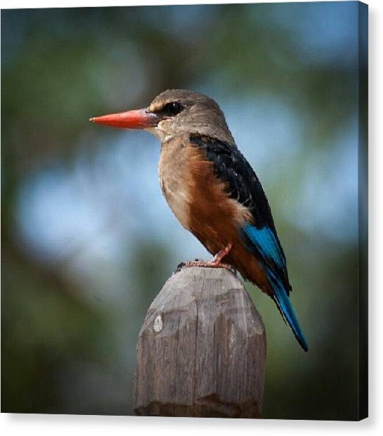 Kingfisher Canvas Print - Kingfisher - I Believe It's The Giant by Grant Swanepoel