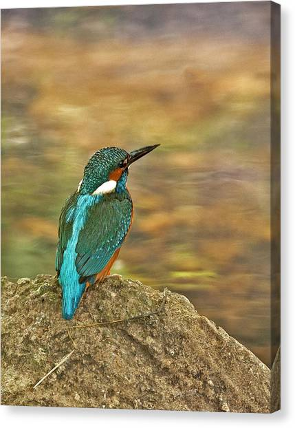 Kingfisher At Rest Canvas Print
