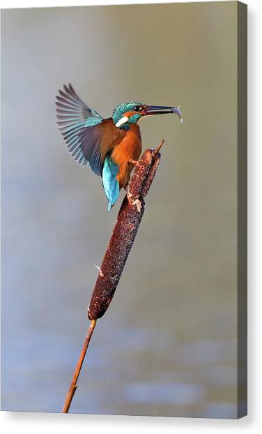 Kingfisher With Fish Canvas Print by John Devries/science Photo Library