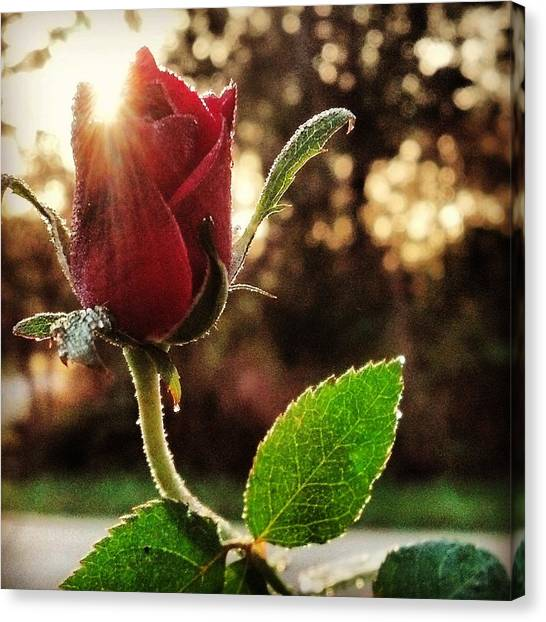 Kiss Of The Ross Canvas Print