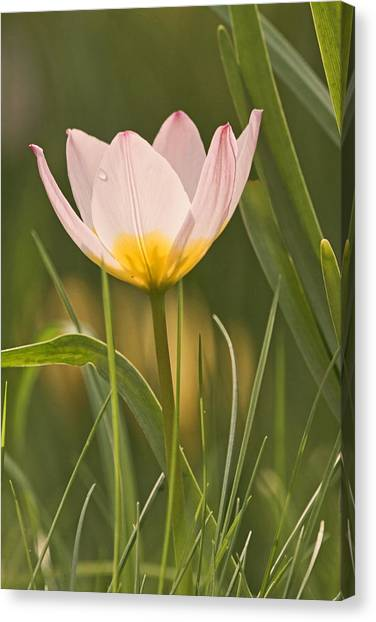 Kissed By The Morning Canvas Print