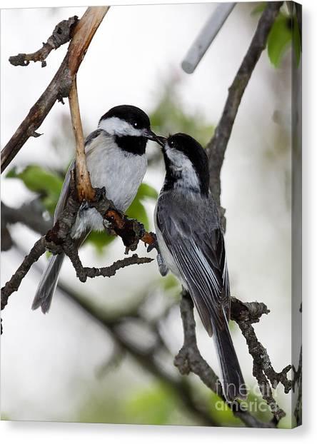 Kissing Chickadees Canvas Print