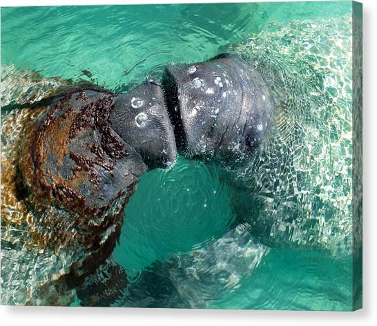 Kissing Manatees Near Harbour Island Canvas Print
