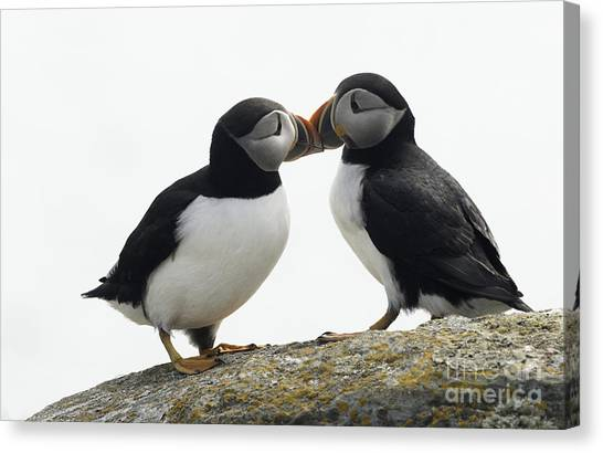 Kissing Puffins Canvas Print