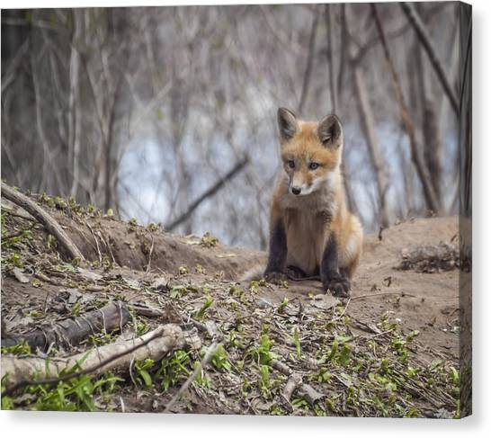 Kit Fox 2011-1 Canvas Print