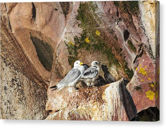 Canvas Print featuring the photograph Kitiwake And Chick 2 by Perla Copernik