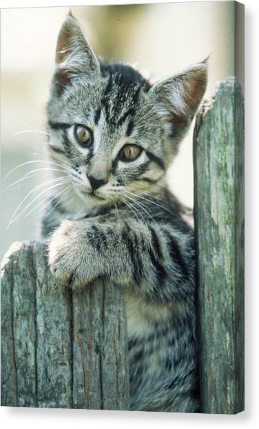 Kitten On Fence Canvas Print