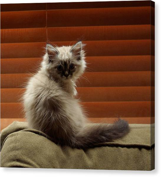 Canvas Print - Kitten Surprise by Cindy Johnston