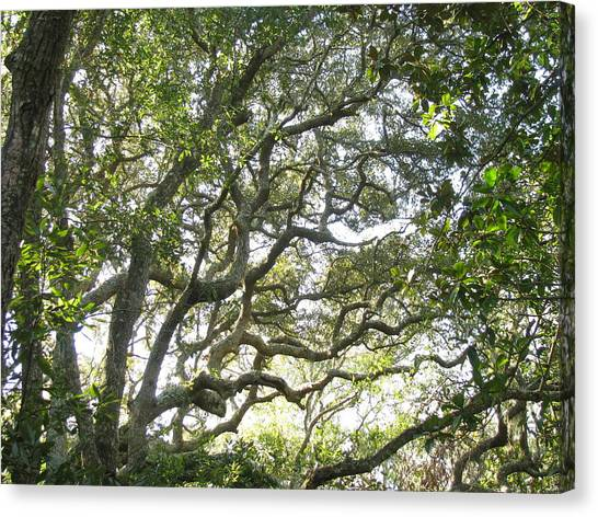 Knarly Oak Canvas Print
