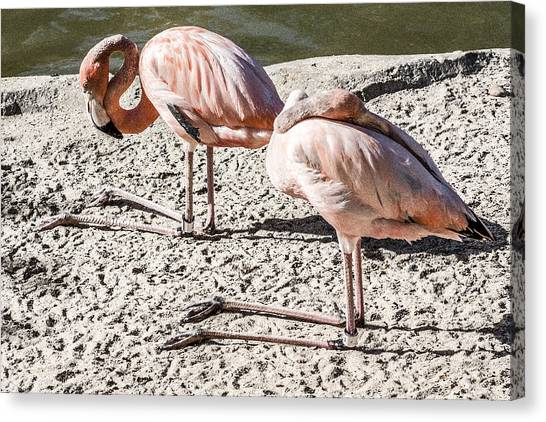 Kneeling Flamingos Canvas Print