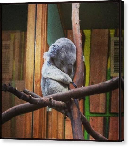 Koala Canvas Print - #koala #asleep #snuggling #cute by Siobhan Macrae