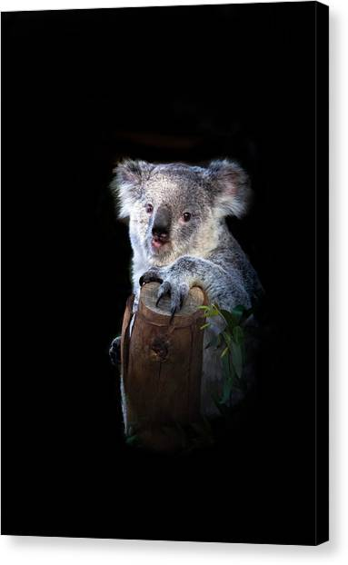 Koala Canvas Print - Koala Bear by Robert Bales