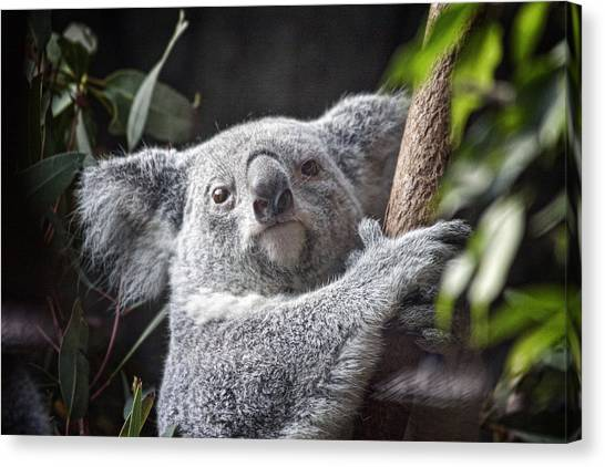 Koala Canvas Print - Koala Bear by Tom Mc Nemar