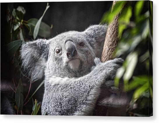 Koala Canvas Print - Koala Bear by Tom Mc Nemar