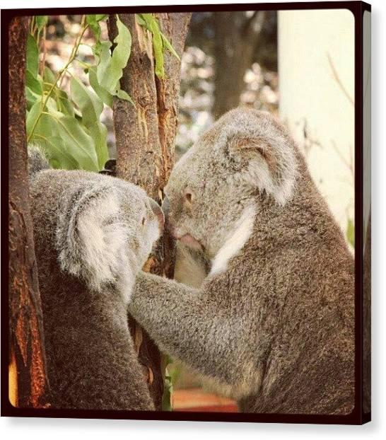 Koala Canvas Print - #koala #cute by Luke Richards