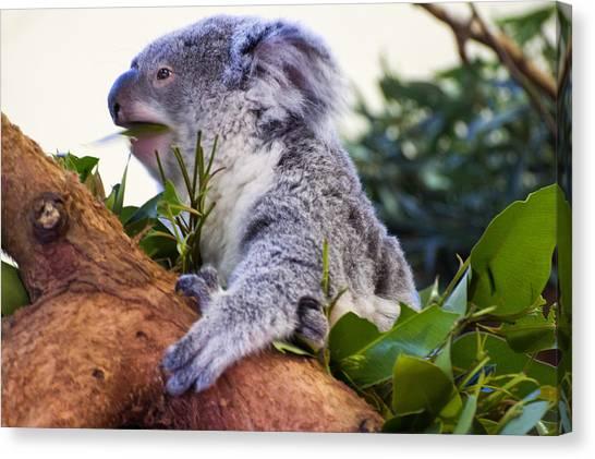 Koala Canvas Print - Koala Eating In A Tree by Chris Flees