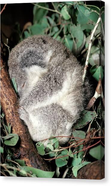 Koala Canvas Print - Koala by Patrick Landmann/science Photo Library