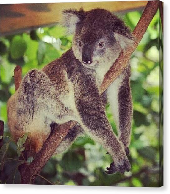 Koala Canvas Print - Koala Sighting #followme  #ig by Fotochoice Photography