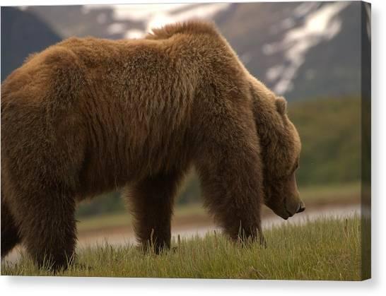 Kodiak Bears Canvas Print