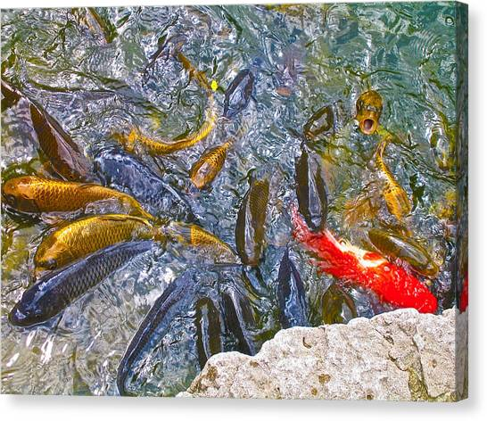 Koi Frenzy Canvas Print