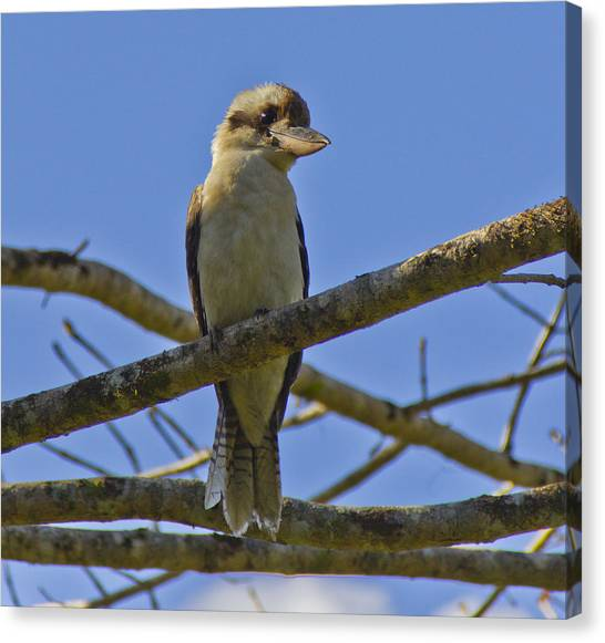 Kookaburra Canvas Print by Debbie Cundy